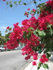 Bougainvilleas in Key West